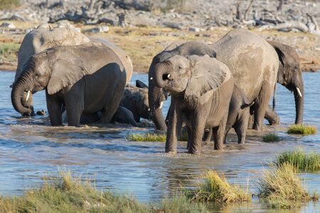 pozo de agua: bebé de agua potable elefante en Etosha