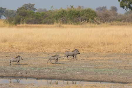 waterhole: Side view of family of phacochoerus africanus near waterhole