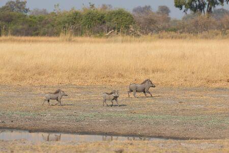 pozo de agua: Vista lateral de la familia de phacochoerus africanus cerca abrevadero