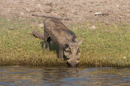 river side: Front view of phacochoerus africanus drinking at the river side