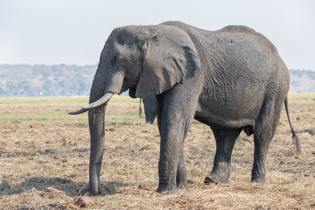chobe national park: Side view of entire elephant in Chobe national park