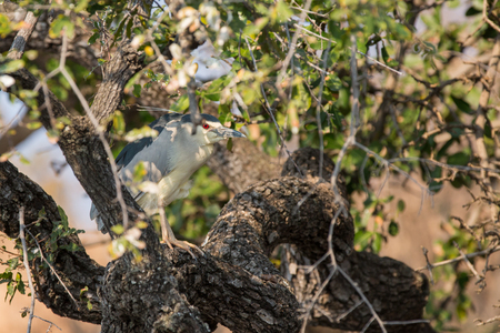 camouflaged: Nycticorax nycticorax. Black-crowned Night Heron camouflaged