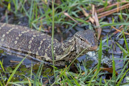 lizard in field: Primer plano de Varano en el Parque Nacional de Chobe, Botswana. Centrarse en la cabeza