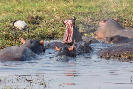 amphibius: Hippopotamus Amphibius opening mouth