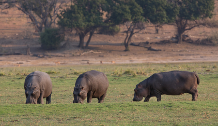 amphibius: Hippopotamus Amphibius group grazing Stock Photo