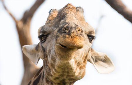 snout: Front view of giraffes head (closeup, focus on snout)