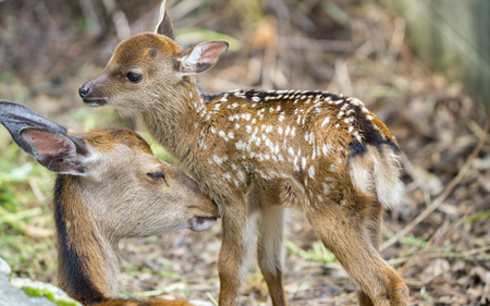 mother and baby deer: Detailed view of fawn and mom deer in a forest Stock Photo