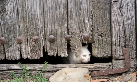 old wooden door: Front view of wounded cat through old wooden door hole