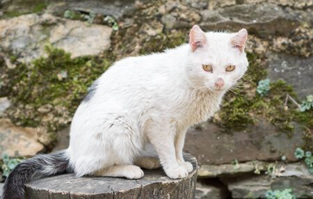 tearful: Closeup of white cat with sick eyes and wounded ears