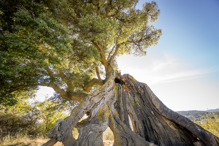 against the sun: Wide angle view of twisted holm oak tree against sun Stock Photo