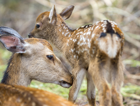 mother and baby deer: Detailed view of fawn and mom deer in a forest, focus on baby eye