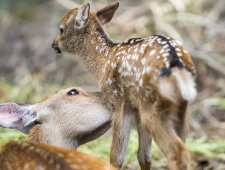 mother and baby deer: Detailed view of mom deer licking fawn in a forest, focus on moms eye