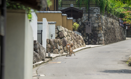 mother and baby deer: Miyajima island in Japan, view of fawn and mom deer over the streets
