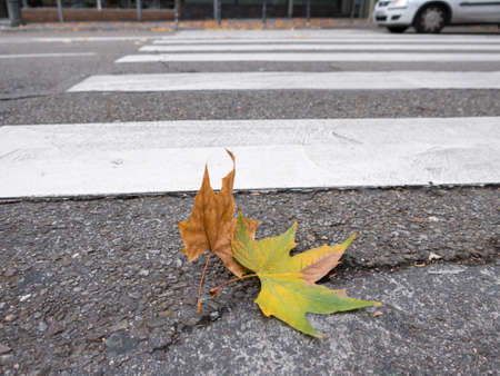 transient: Detailed view of brown leaf near zebra crossing and car, windy day Stock Photo