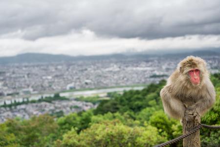 one eyed: Front view of one-eyed Monkey in Arashiyama mountain, Kyoto