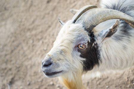 field depth: Closeup of white goat, shallow depth of field