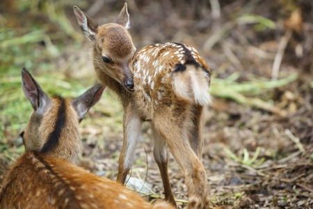 mother and baby deer: Detailed view of mom deer and fawn in a forest, focus on fawns eye