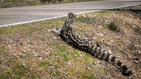 civet cat: Road and rear view of Genet  Genetta genetta