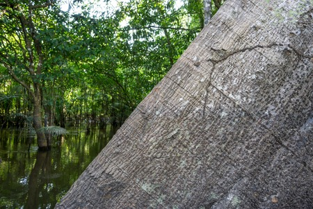 malvales: Closeup of trunk of the largest tree in the Amazon rainforest, the Ceiba pentandra.