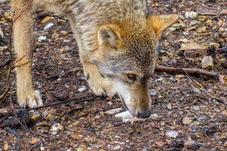 canis: Side view of wet Canis Lupus Signatus sniffing in the bush Stock Photo
