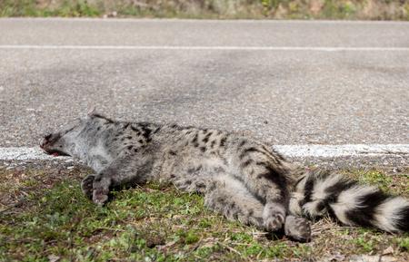 civet cat: Road and rear view of dead Genet  Genetta genetta