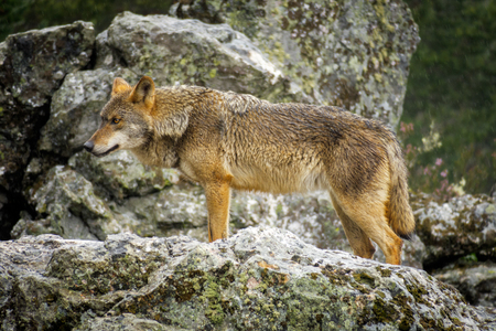 canis: Whole wet Canis Lupus Signatus over rocks looking at the horizon, side view, raining