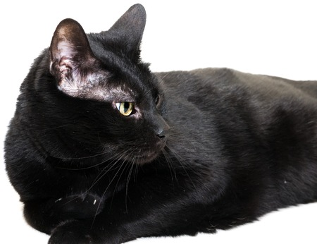 laid: closeup of entire black cat laid down over white background, looking to the right side