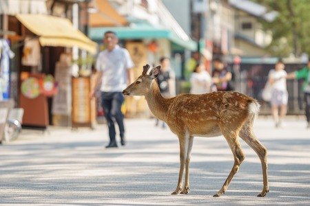 mother and baby deer: Shallow depth of field with deer in the streets of Miyajima Island in Japan Stock Photo