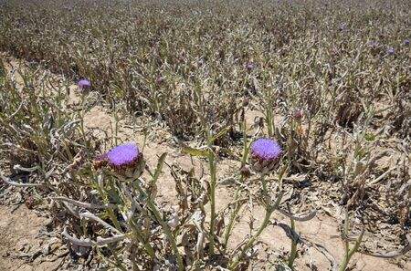 ''wide angle'': Wide angle view of artichoke plantantion, focus on flowers Stock Photo
