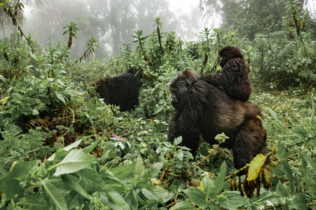 Profile of female mountain gorilla with baby over the back. Rwanda