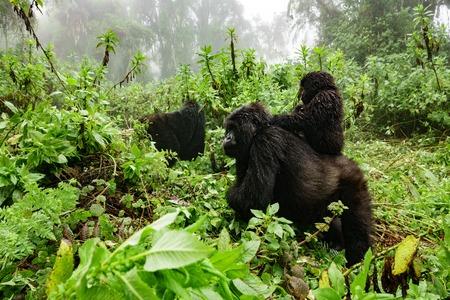 Perfil del gorila de montaña femenina con el bebé sobre la espalda