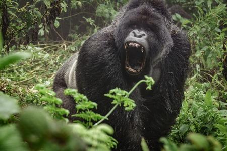 口を開いて霧の野生の森林で怒っているシルバー マウンテン ゴリラの正面図