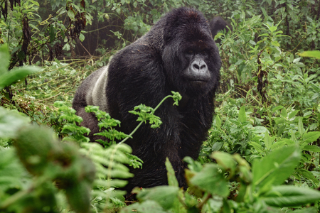 Front view of silverback mountain gorilla in the misty wild forest Stock Photo