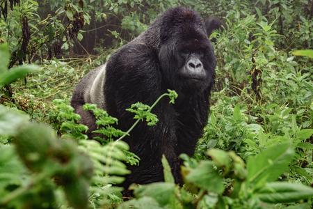Vista frontal de espalda plateada de gorilas de montaña en el bosque salvaje brumosa
