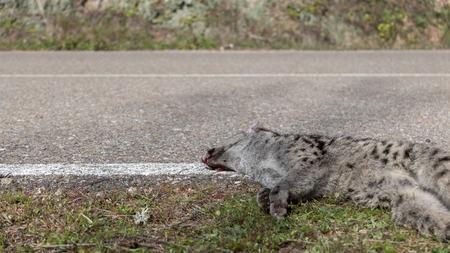 Road and perspective view of dead Genet  Genetta genetta