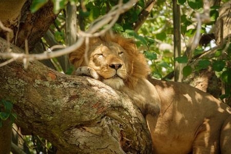 mane: Detailed view of male Lion with mane taking a nap on a tree branch