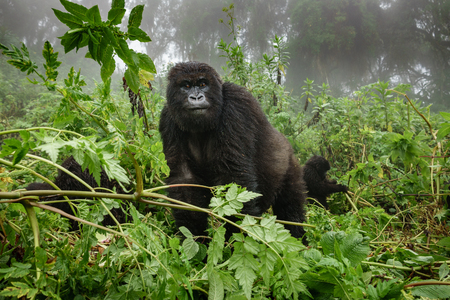 Front view of mountain gorilla observing tourists in the forest