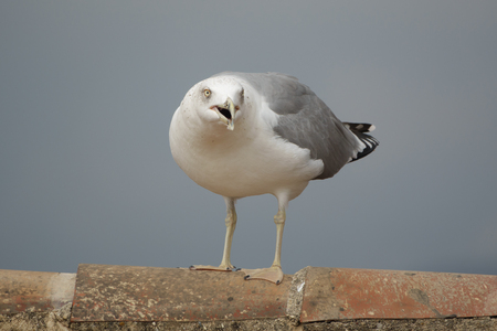 yells: Closeup view of screaming and angry seagull over tile roof