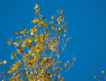 arbol alamo: Primer punto de vista de la parte superior del árbol de álamo con hojas de otoño amarillas contra el cielo azul.