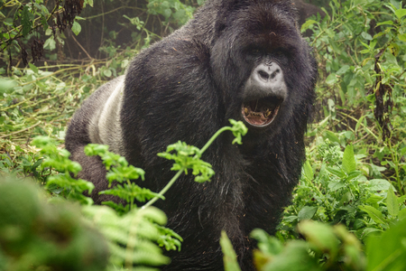silverback: Front view of angry silverback mountain gorilla in the misty wild forest opening mouth