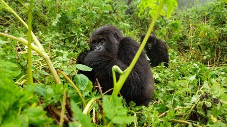 Female mountain gorilla feeding in the forest Stock Photo