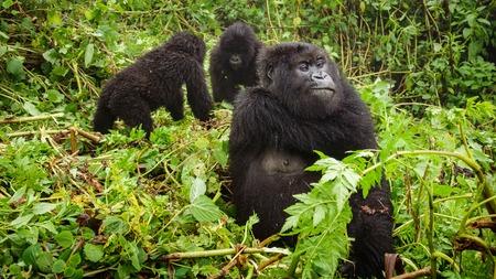Female mountain gorilla thinking with two baby gorillas Stock Photo