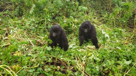 Two young gorillas playing in the forest Stock Photo