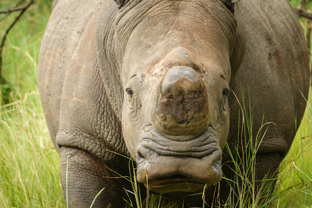 furtive: Front view of white rhino without horn in Uganda