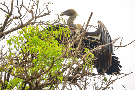 Vulture standing tall on a tree, extended wings