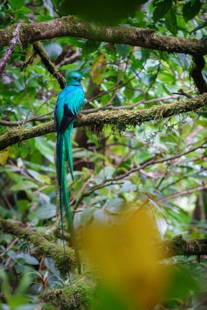 Beautiful bird in nature tropic habitat. Resplendent Quetzal Stock Photo