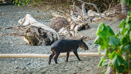Young tapir entering the forest in Corcovado, Cosa Rica