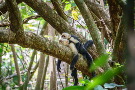A pair of white faced capuchins on a branch, Costa Rica.