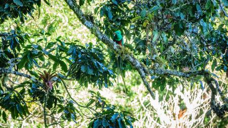 Beautiful Quetzal in nature tropic habitat of Costa Rica Stock Photo