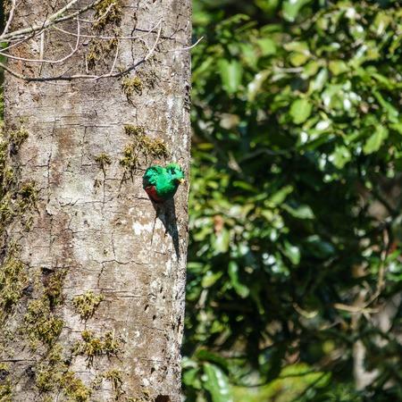 Resplendent Quetzal male in tree hole nest Stock Photo